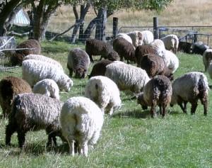 Crutched Lambs