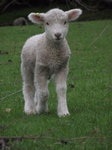 Cute white lamb