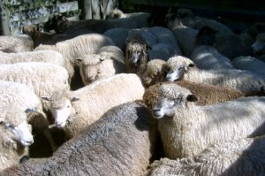 Full-fleece sheep in yards