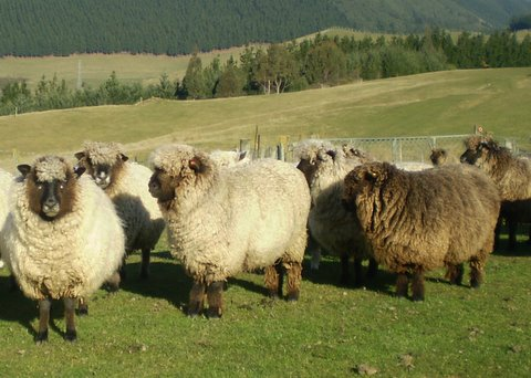 Full Fleece Sheep - Fleecewood Farm