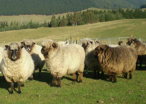 Full Fleece Sheep - Fleecewood Farm