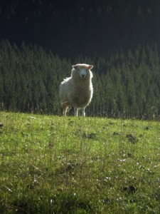 Sheep with halo