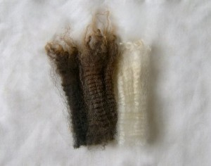 Typical New Zealand Halfbred fleece locks showing colour range and crimp